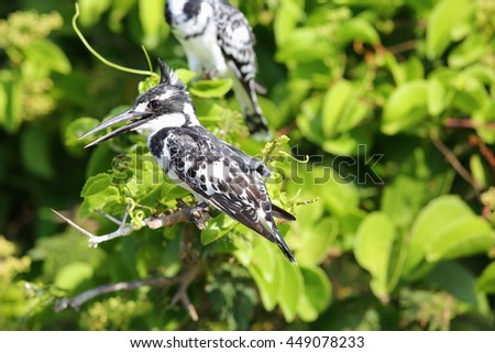 Pied Kingfisher (Ceryle rudis) in Queen Elizabeth National Park, Uganda