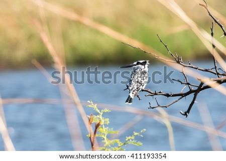 Pied Kingfisher (Ceryle rudis) perched above river edge at Mudumu National Park, Namibia, November - stock photo