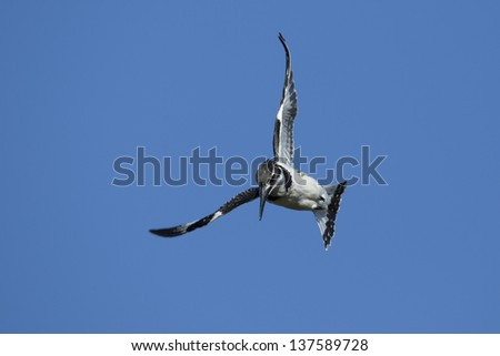 Pied kingfisher diving after fish, South Africa