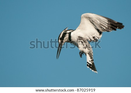 Pied kingfisher hovering over the water while hunting for fish - stock photo