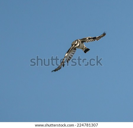 Pied Kingfisher in Flight