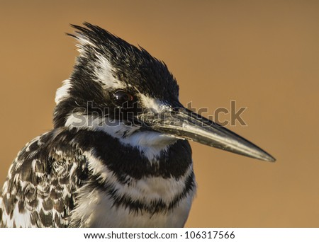 Pied Kingfisher in morning light, extreme closeup
