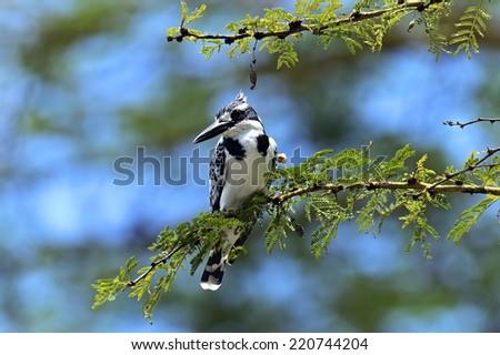 Pied kingfisher in the national park lake Naivasha - stock photo