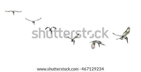 Pied Kingfisher manoeuvres in mid flight while looking for its meal