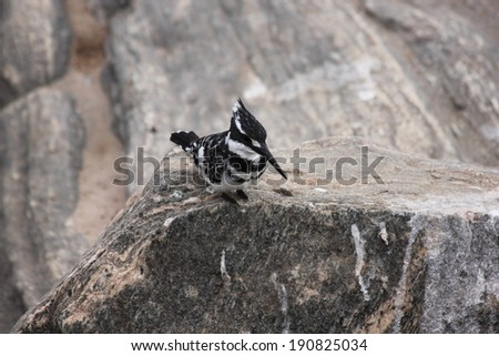 Pied kingfisher on a rock - stock photo