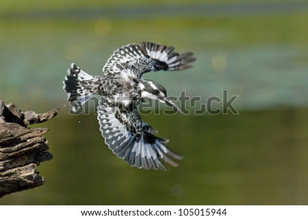 Pied Kingfisher taking off from perch at lake - stock photo