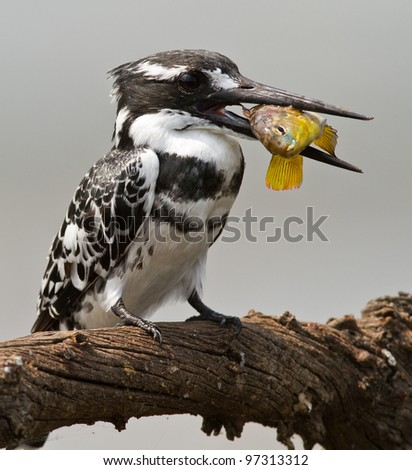 pied kingfisher with catch - stock photo