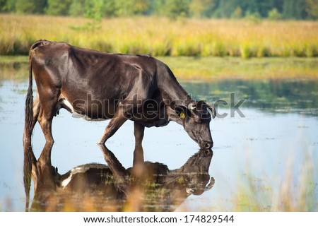 Piedmontese brown cow drinking in nature lake