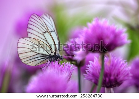 Pieris butterflies (The large white) on a chive flowers - stock photo
