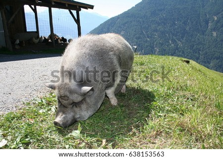 Ugly Pigs Stock Images RoyaltyFree