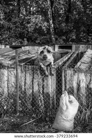 Pig behind a fence - stock photo