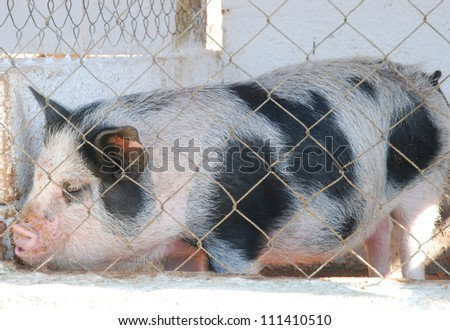 pig behind metal fence - stock photo