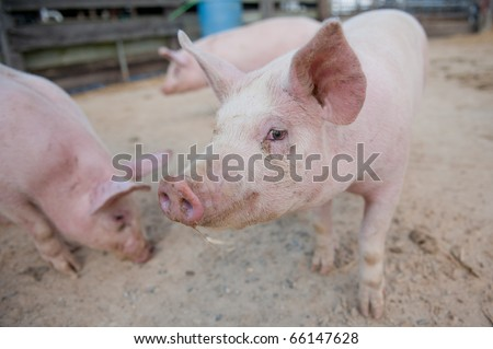 Pig close up in a pen