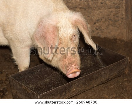 pig eating on the farm - stock photo