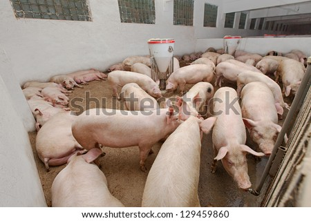 Pig farm - stock photo