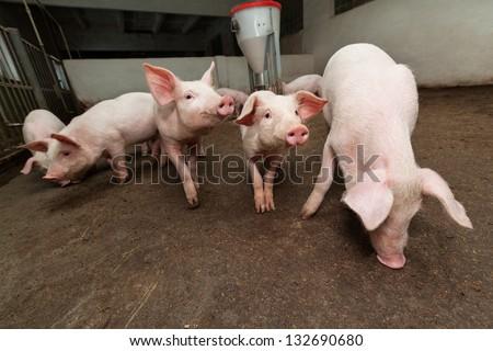 Pig farm - stock photo