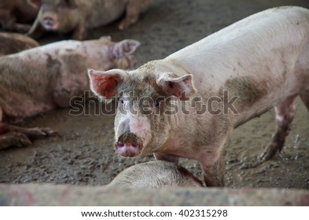 Pig farm in Thailand. - stock photo
