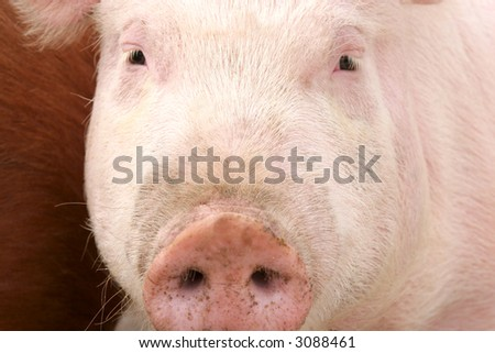 pig in closeup