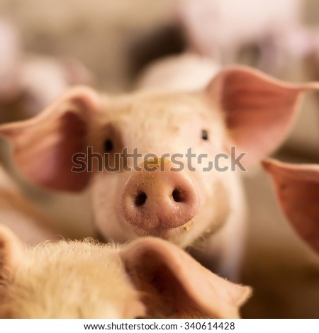 Pig nose in the pen. Focus is on nose. Shallow depth of field. - stock photo