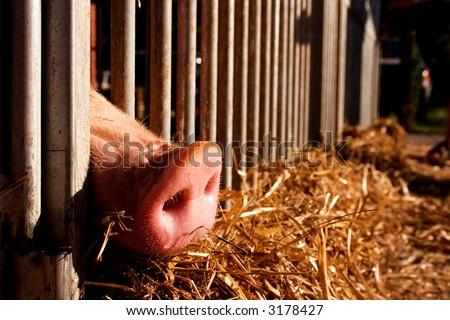 pig nose sticking through a fence - stock photo
