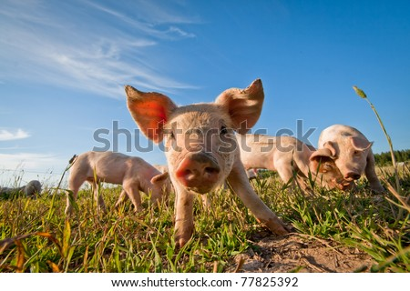 Pig on a pig farm in Dalarna, Sweden - stock photo