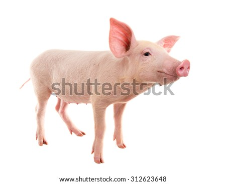 Pig on a white background. a series of photographs - stock photo