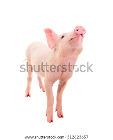 Pig on a white background. a series of photographs