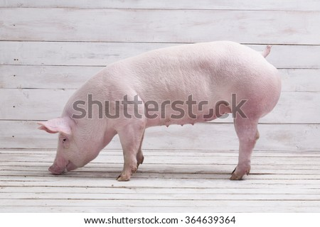 Pig, on a white wooden background - stock photo