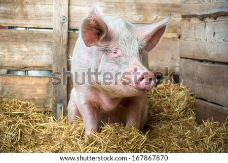 Pig on hay and straw at pig breeding farm - stock photo