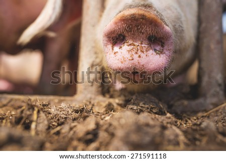 Pig's snout, dirty swine in a pen, shallow depth of field. - stock photo