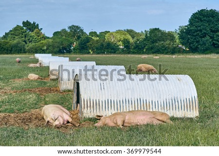 pig shelters in a field
