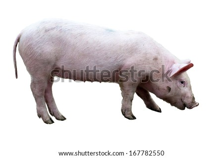 Pig (sus scrofa) isolated on white - stock photo