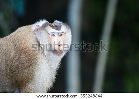 Pig-tailed Macaque(Macaca leonina) in Khaoyai national park,Thailand