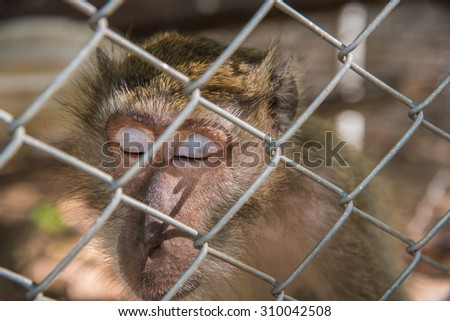 Pig - tailed Magaque (Macaca nemestrina) sleep in the cage