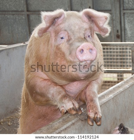 Pig waiting for food in a pigsty - stock photo