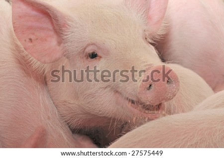 Pig who are photographed on one of farms