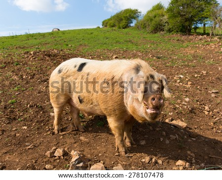Pig with black spots in a field  - stock photo