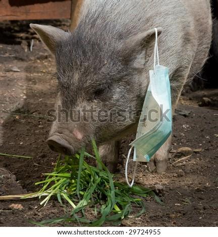 pig with blue gauze mask - stock photo