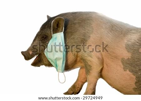 pig with blue gauze mask isolated on white - stock photo