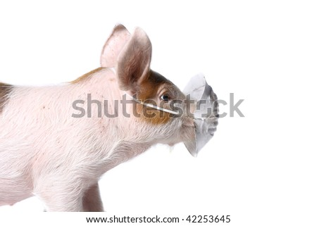 Pig with green gauze bandage. Virus H1N1 concept. Studio shot. Isolated on white. - stock photo