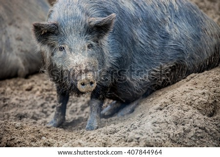 Pig with long hair - stock photo