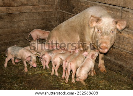 pig with piglets in the barn - stock photo