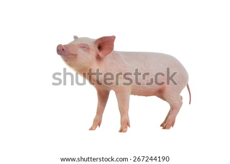 pig with the closed eyes on on a white background. studio