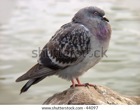 Pigeon at rest on a rock - stock photo