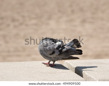 Pigeon cleaning its feathers, standing on concrete benches on the beach , holding head under wing