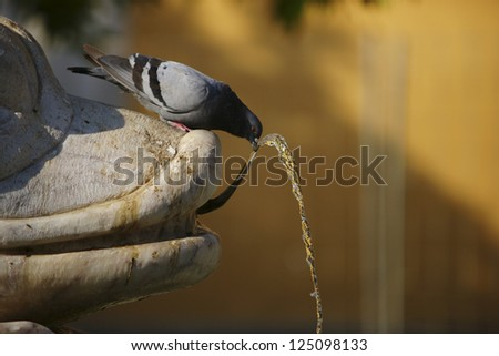 Pigeon drinking water in a fountain
