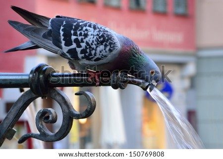 Pigeon drinking water on a hot summer day - stock photo
