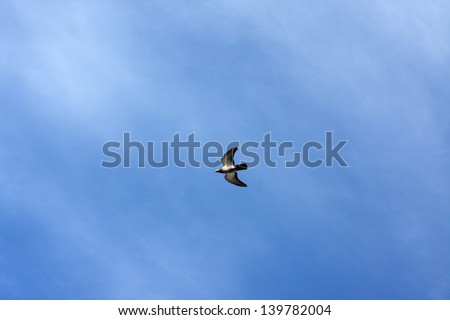 Pigeon flying on blue sky with line of beautiful clouds - stock photo