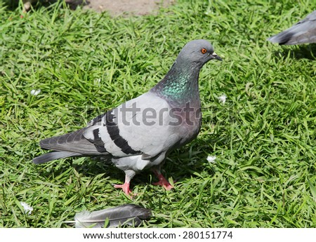 Pigeon on a lawn - stock photo