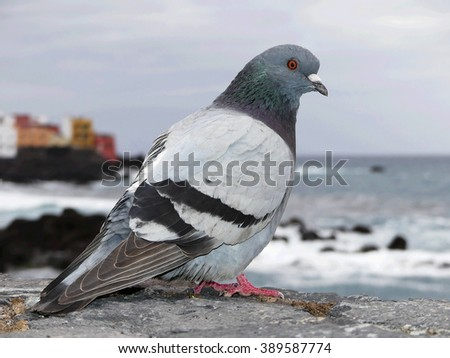pigeon on seashore Porto de la Cruz,Tenerife - stock photo